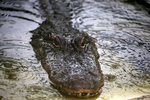 07_01_florida_alligators_01