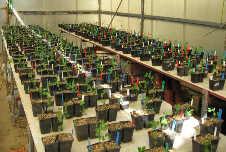 pea-plants