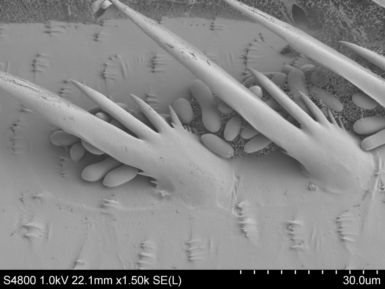 fungus zika mosquito