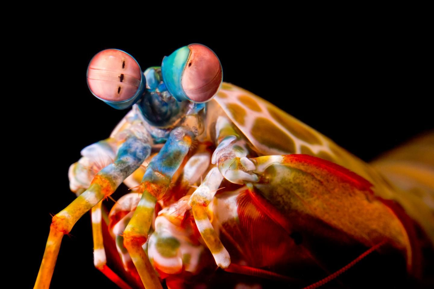 mantis shrimp have perfected the eye roll to better see