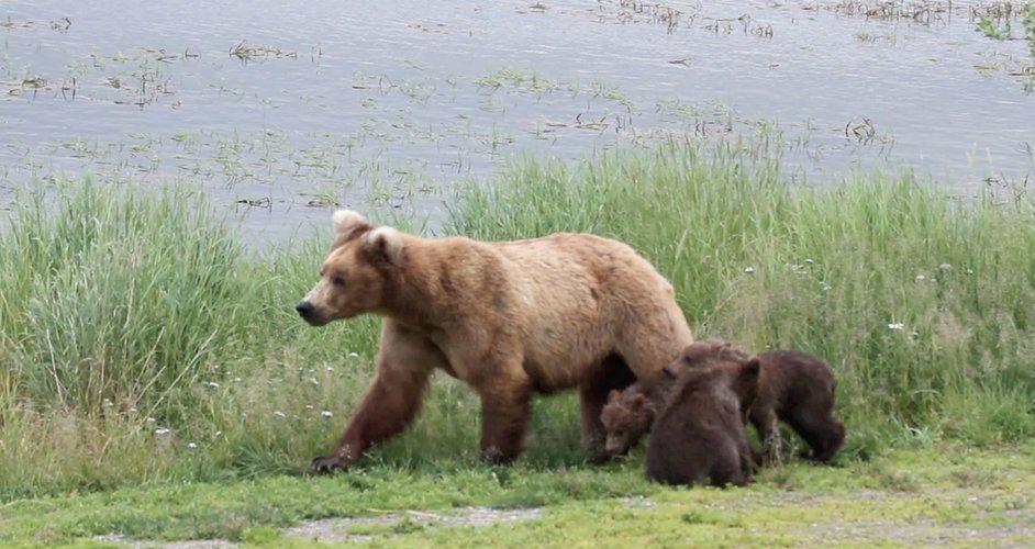 Bears Live Cam