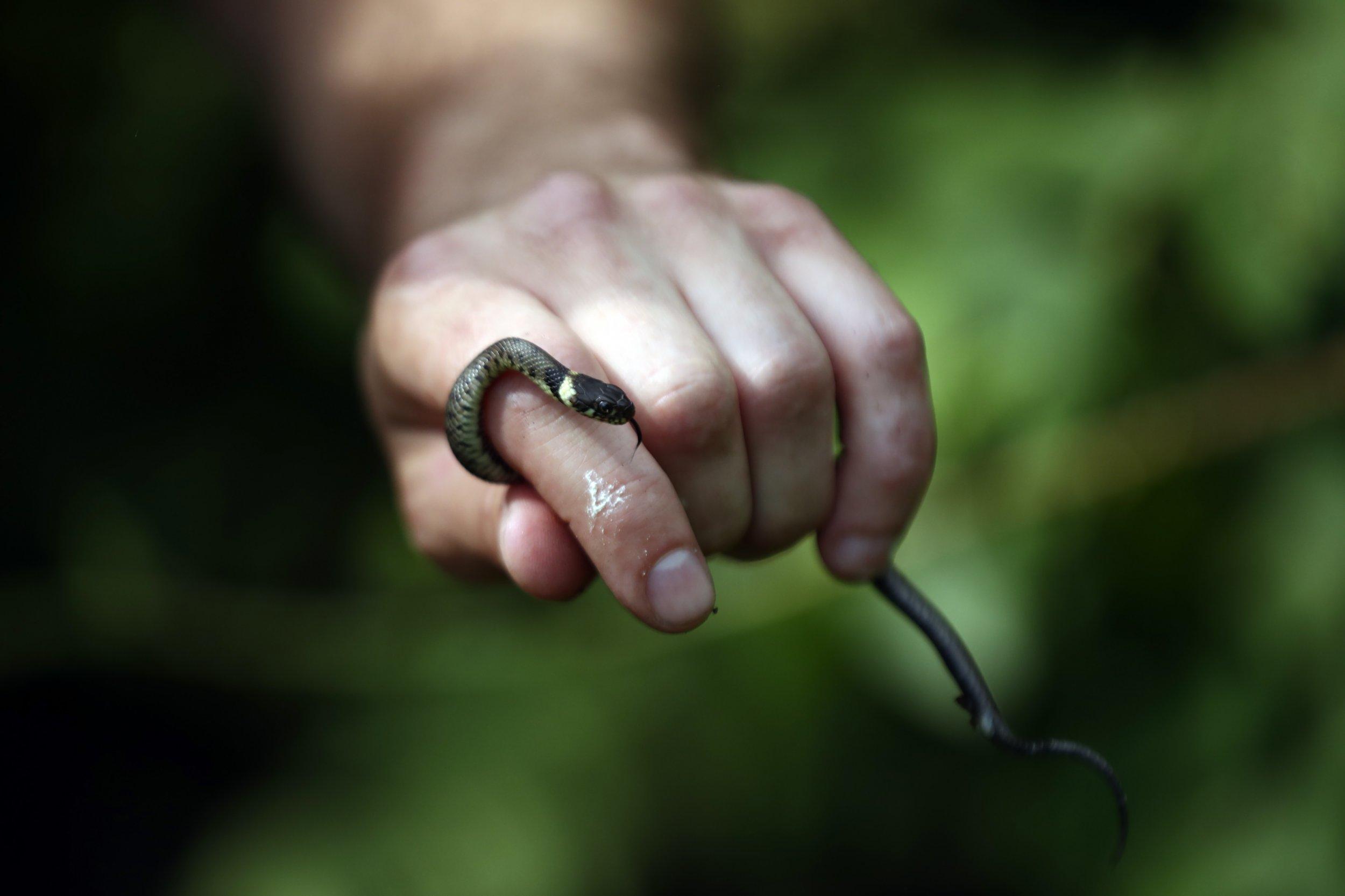 Grass snake at Hampstead Heath