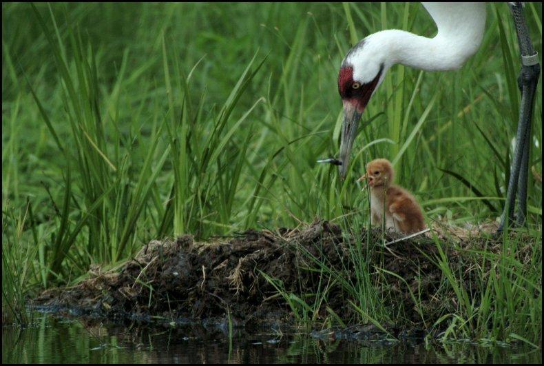 crane-and-chick