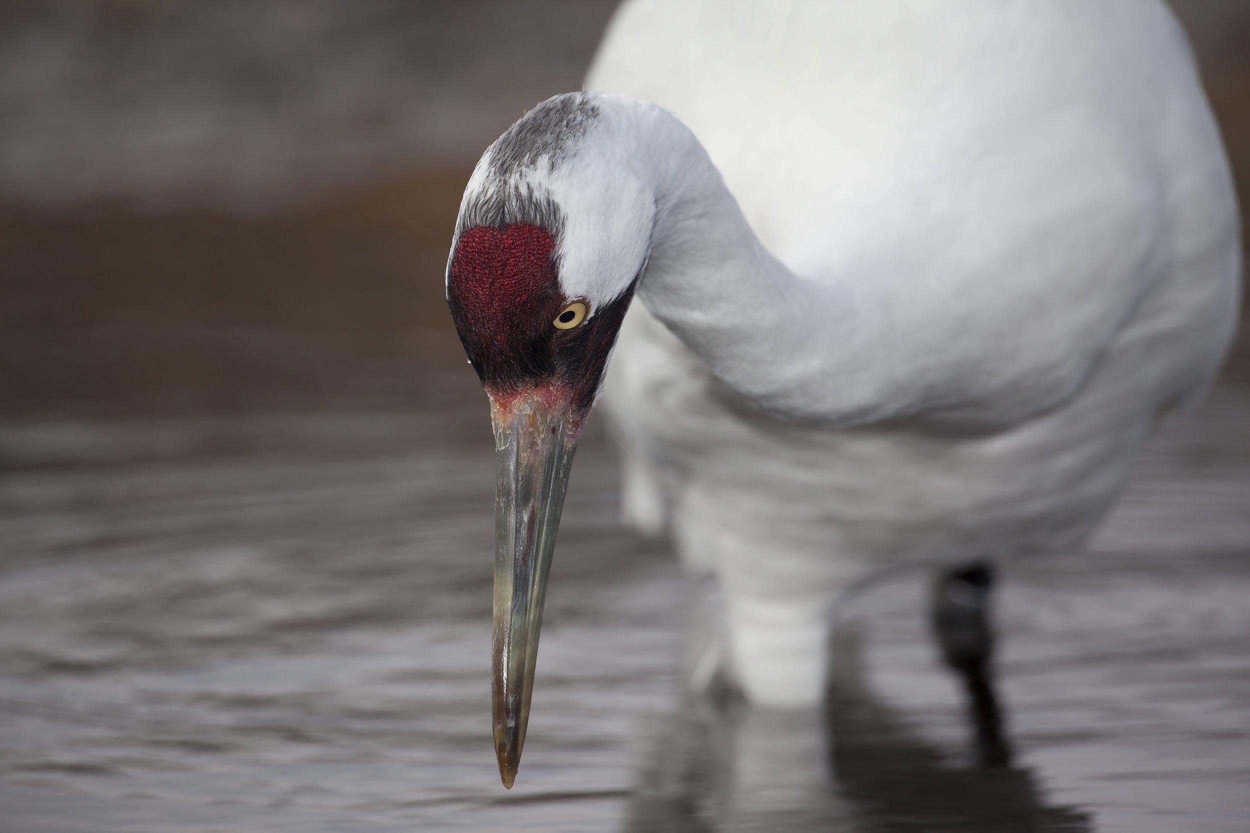 whooping-crane-water