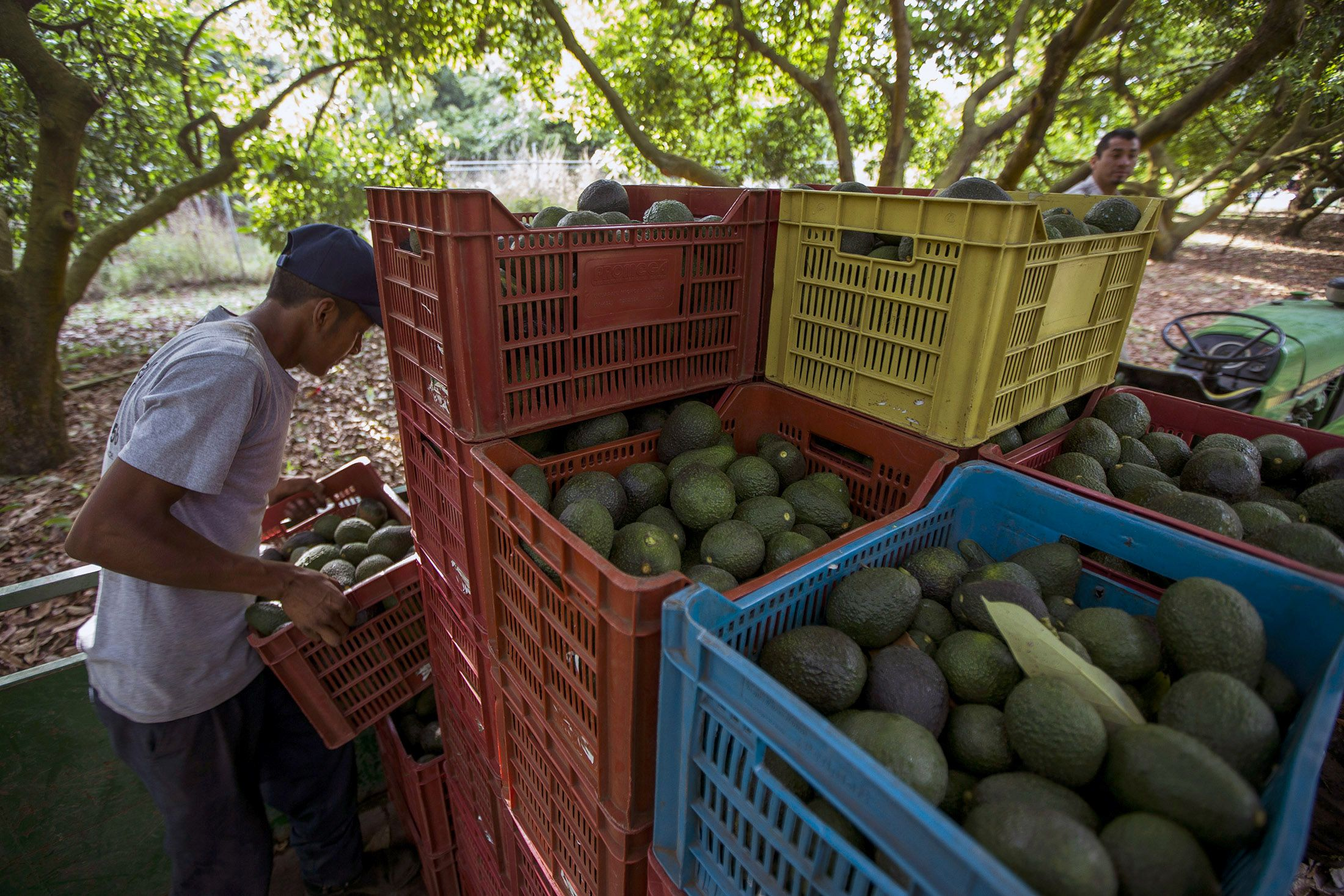 Global Avocado Demand Is Causing Mass Deforestation In Mexico