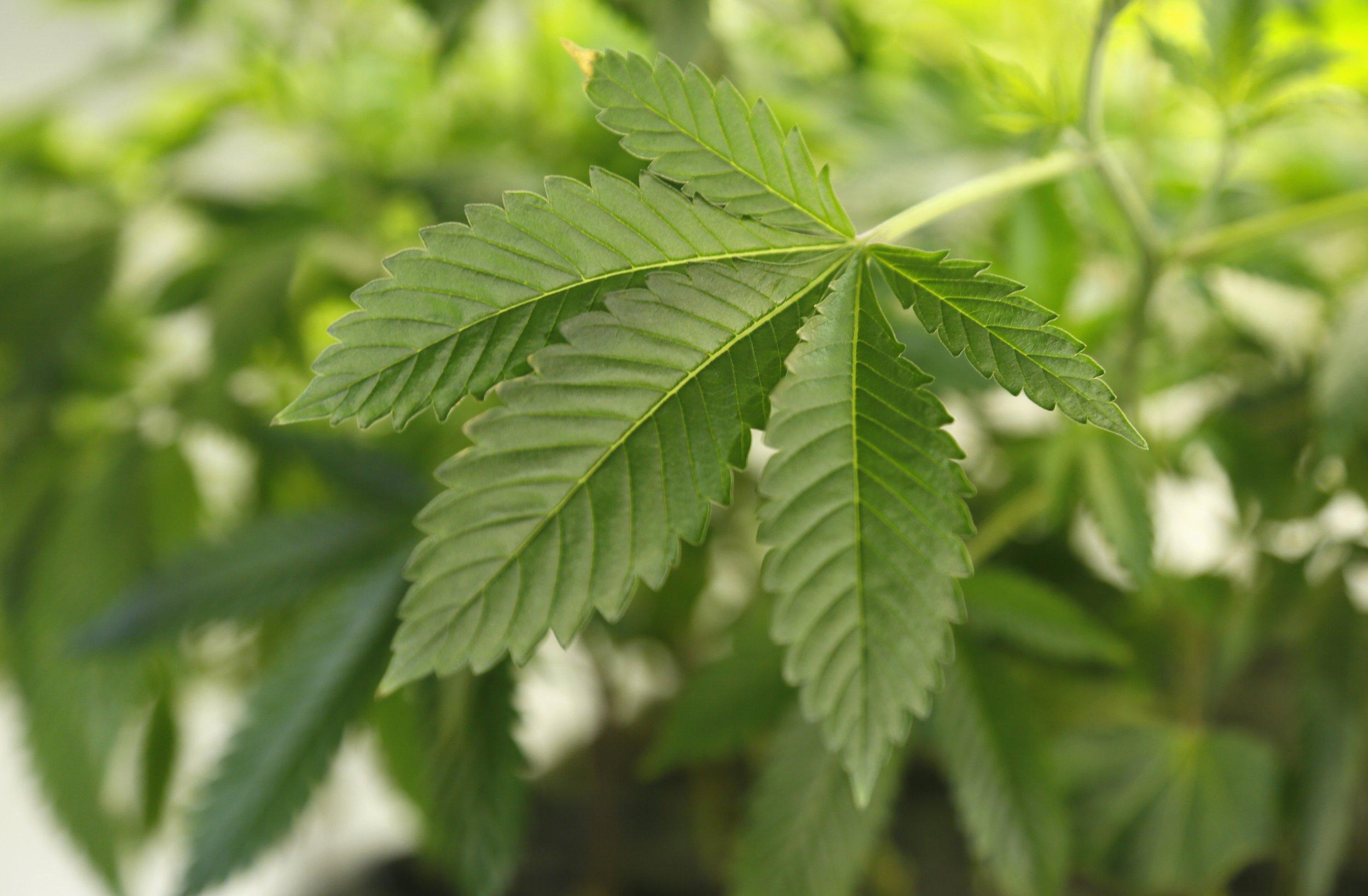08_11_marijuana_plant