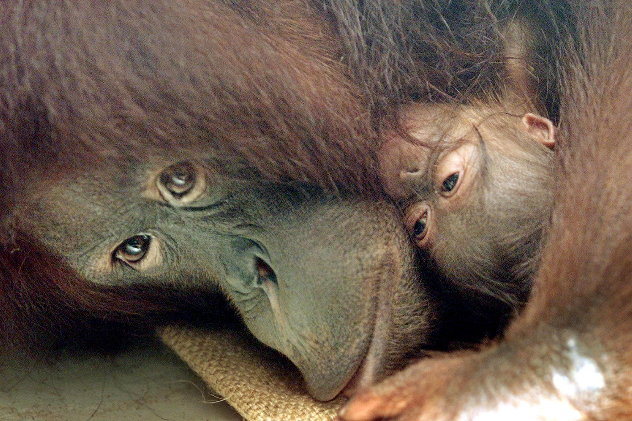 evolution of orangutans Orang-utans are the world's largest tree-climbing mammals while both species have shaggy reddish fur, sumatran orangutans have longer facial hair.