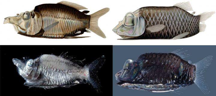 Two New Species of Glow-in-the-Dark Barreleyes Fish