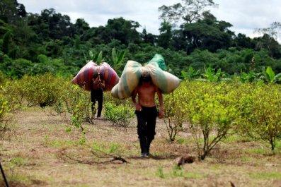 Colombia coca