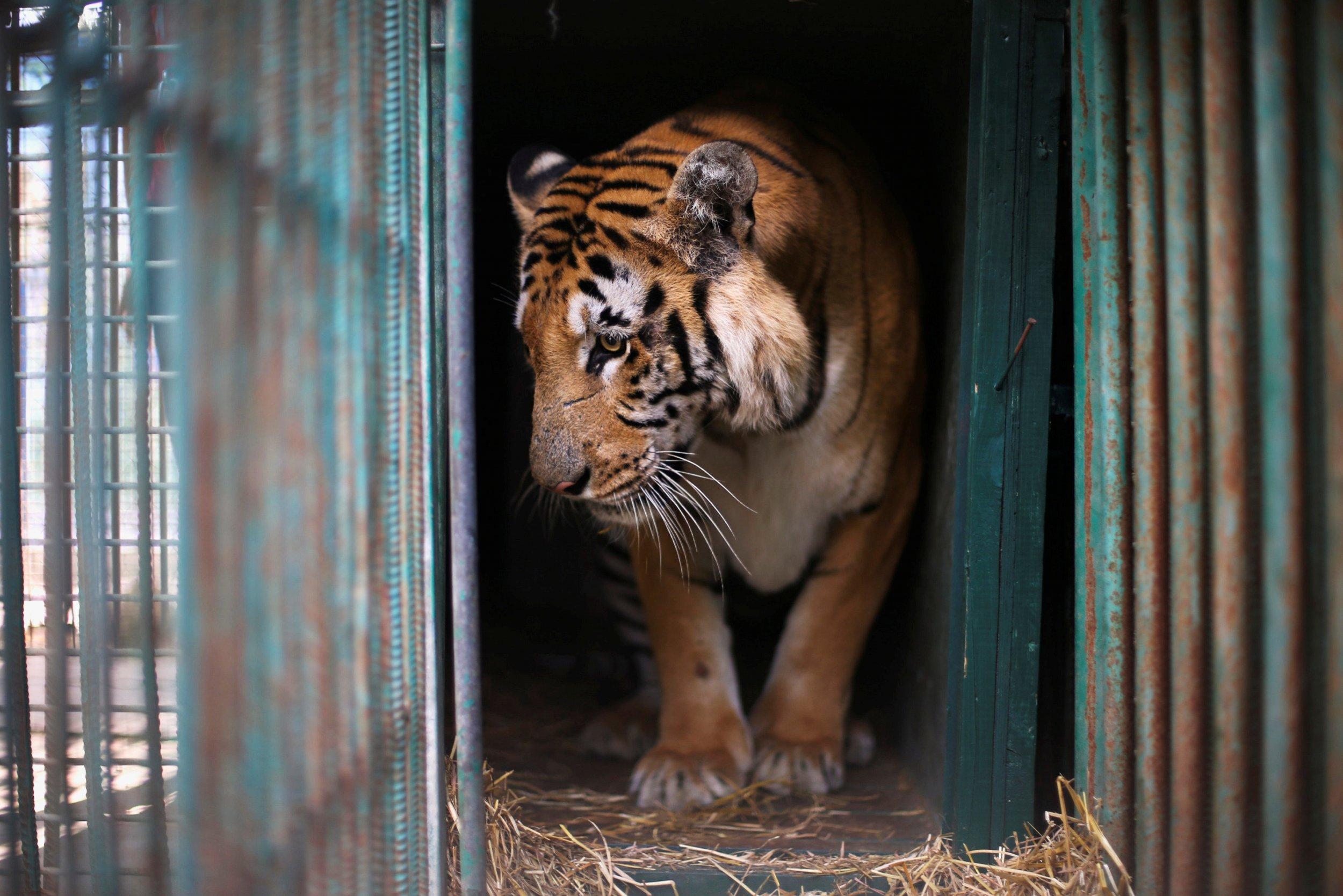 Laziz the tiger