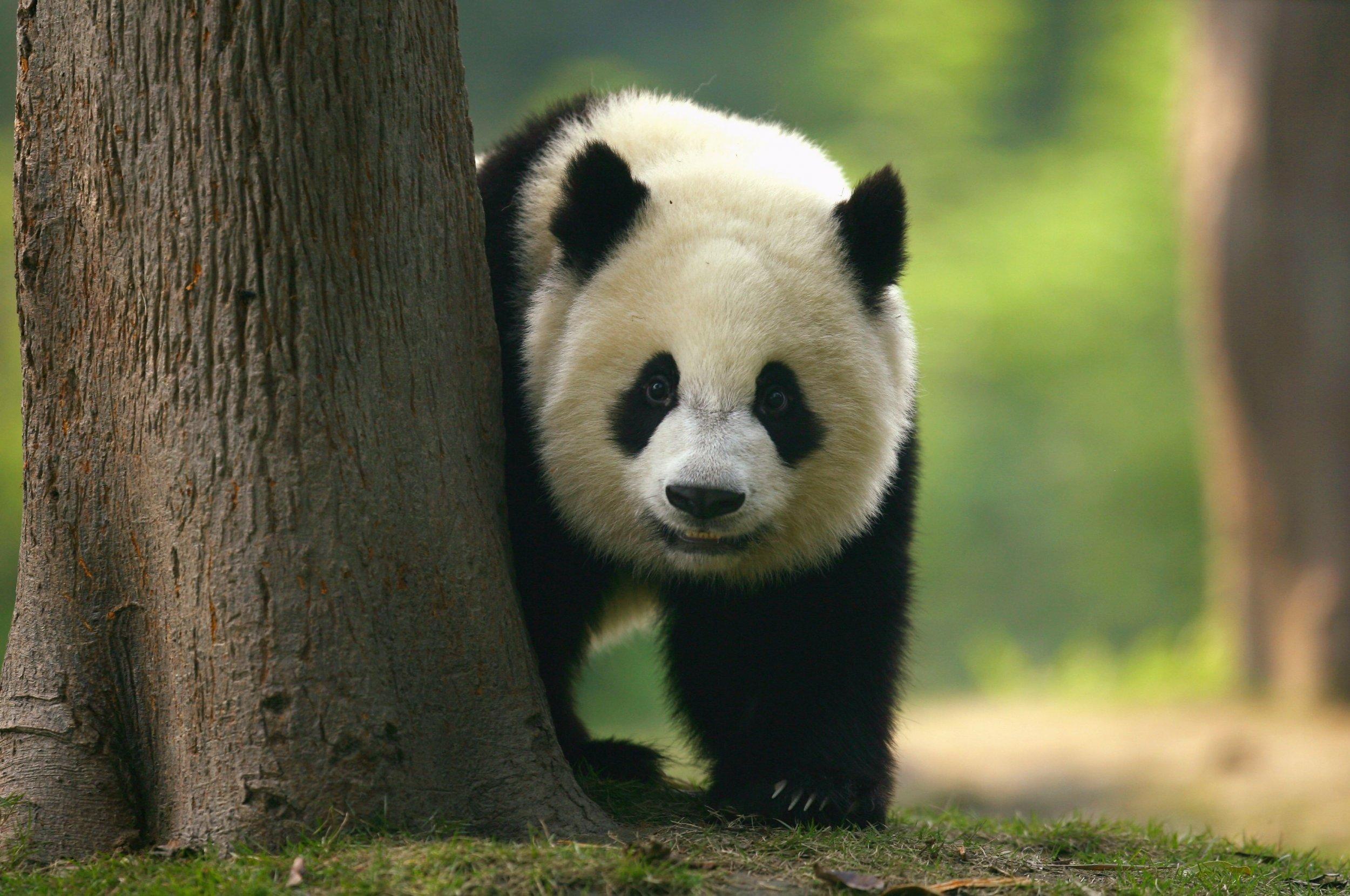 how to help endangered pandas