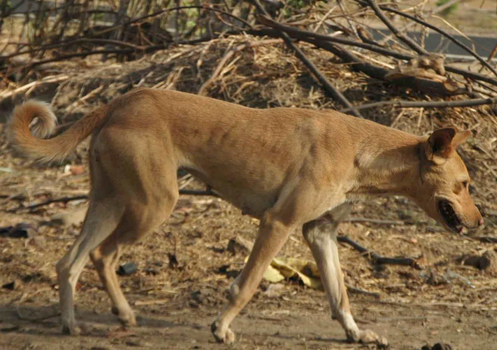 mans worst enemy wild dogs terrorize in india