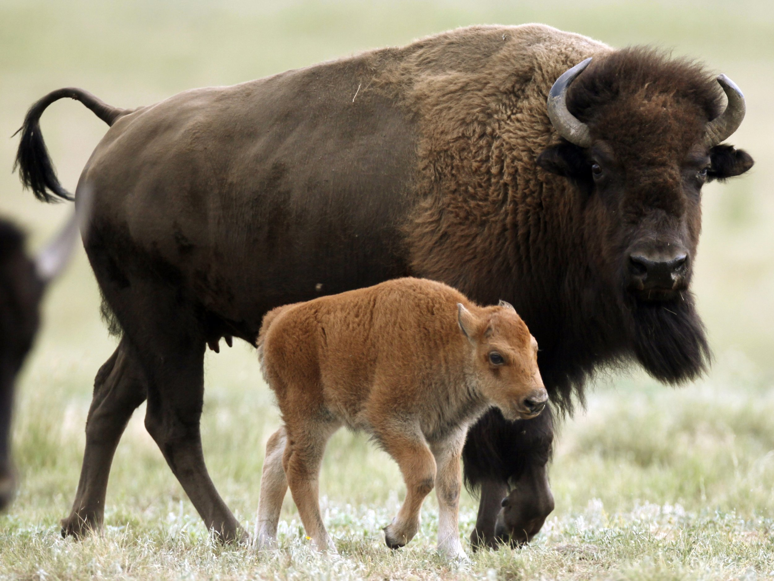The Bison Didn't Stand a Chance