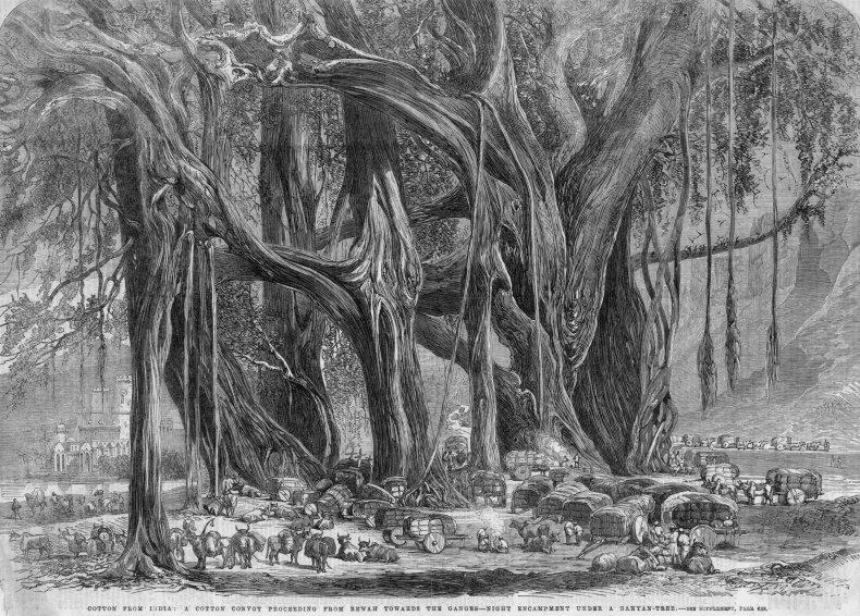 Indian Banyan Tree