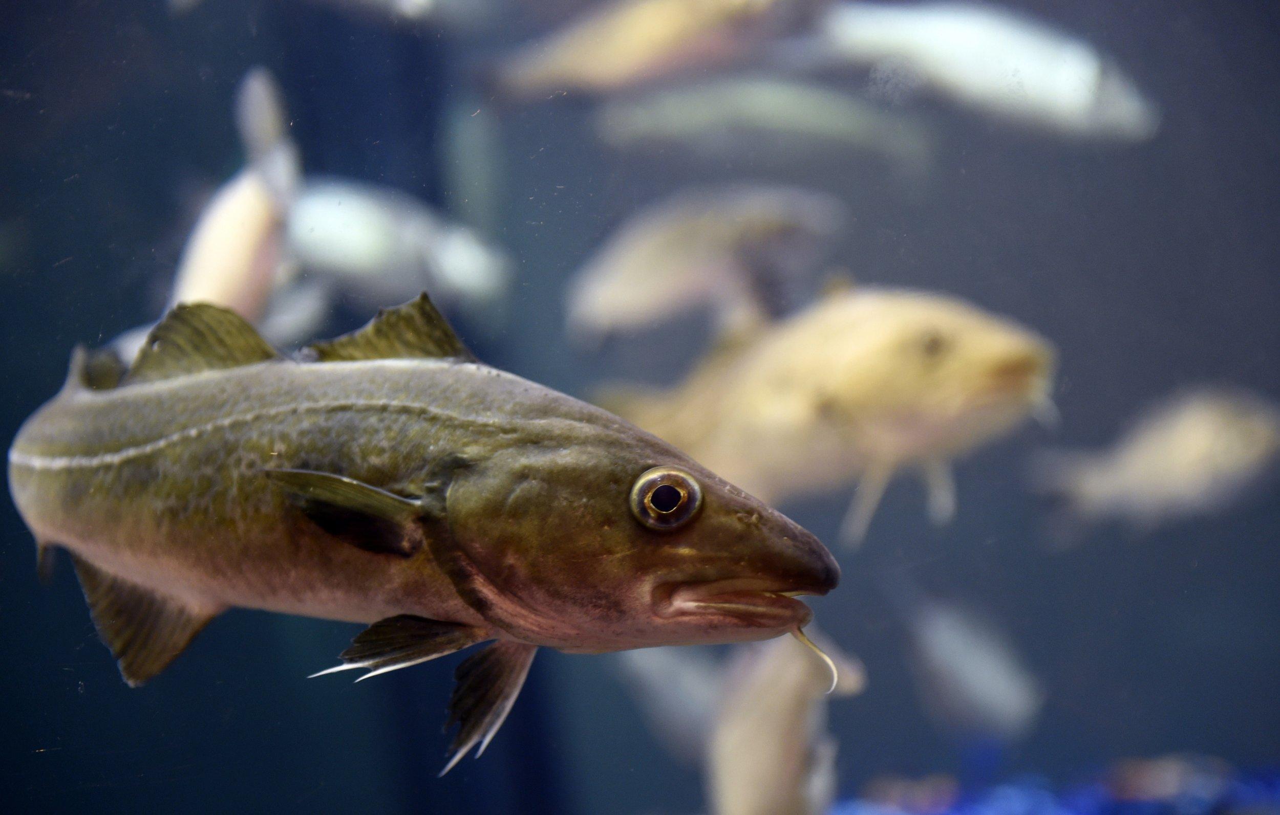 Fish for Cod fish mercury