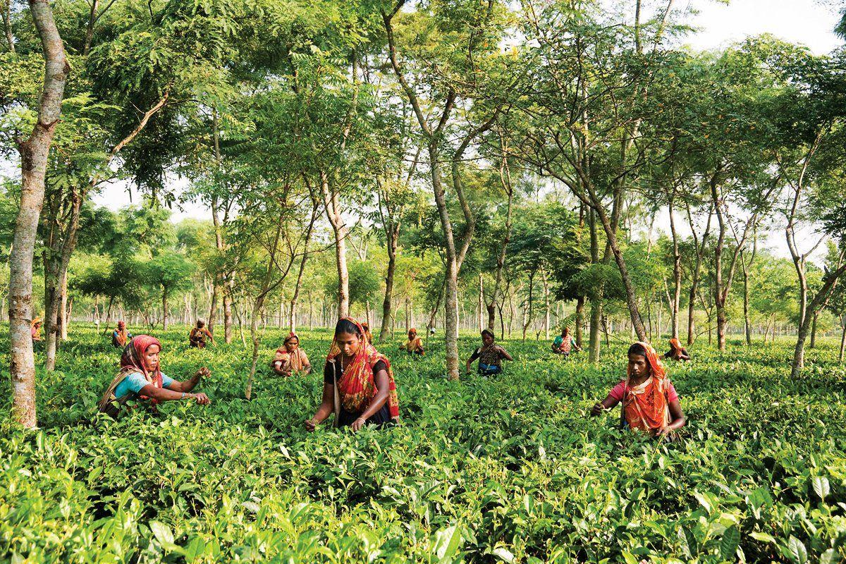 bangladesh-tea-OV20-main