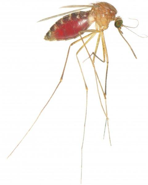Culex-quinquefasciatus-blood
