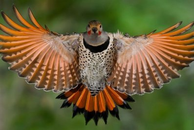 norther-red-flicker