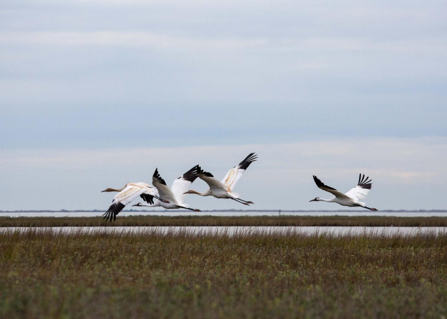 whooping-cranes-flying