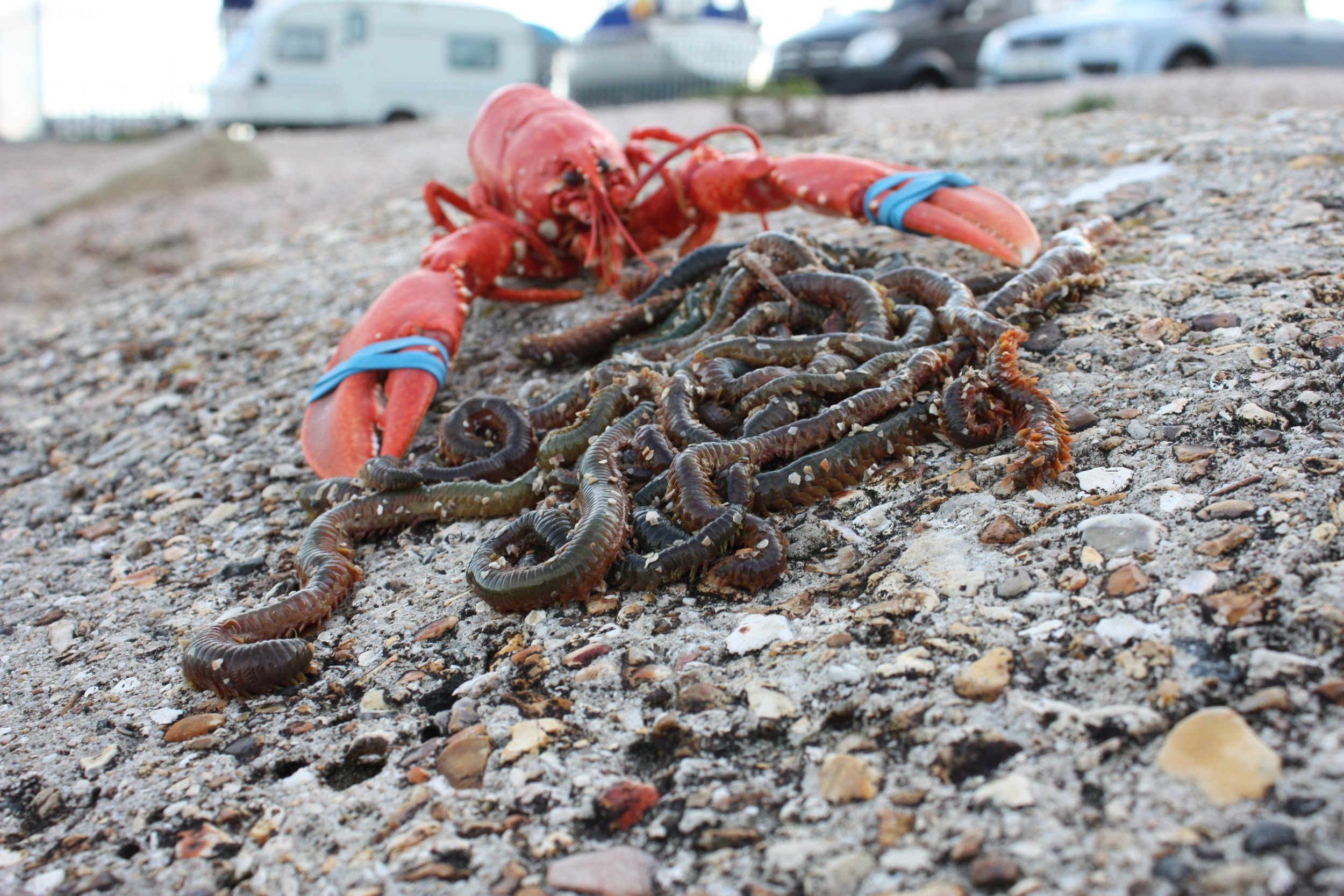 Lobster-blood-worms