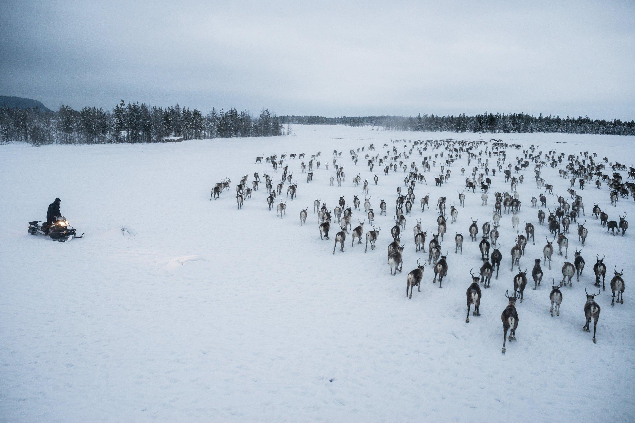 reindeer resistance indigenous herders protecting way of life