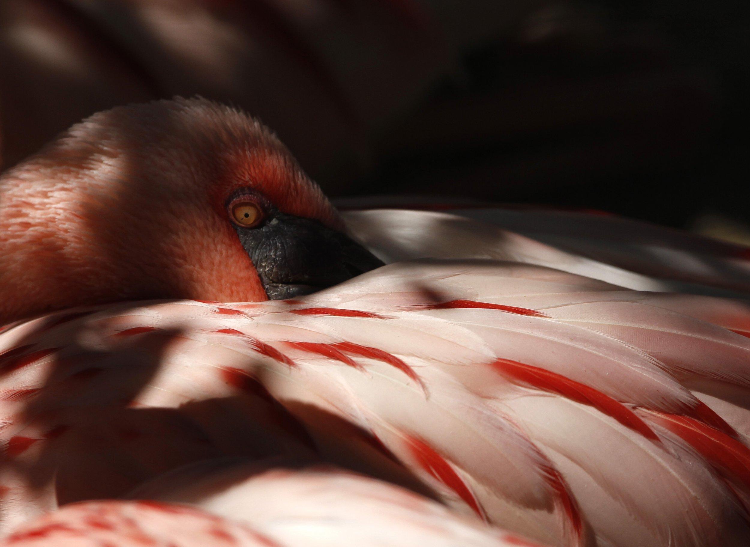 Lesser flamingo in captivity