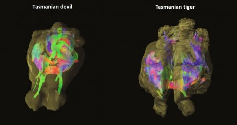 tasmanian-tiger-brain