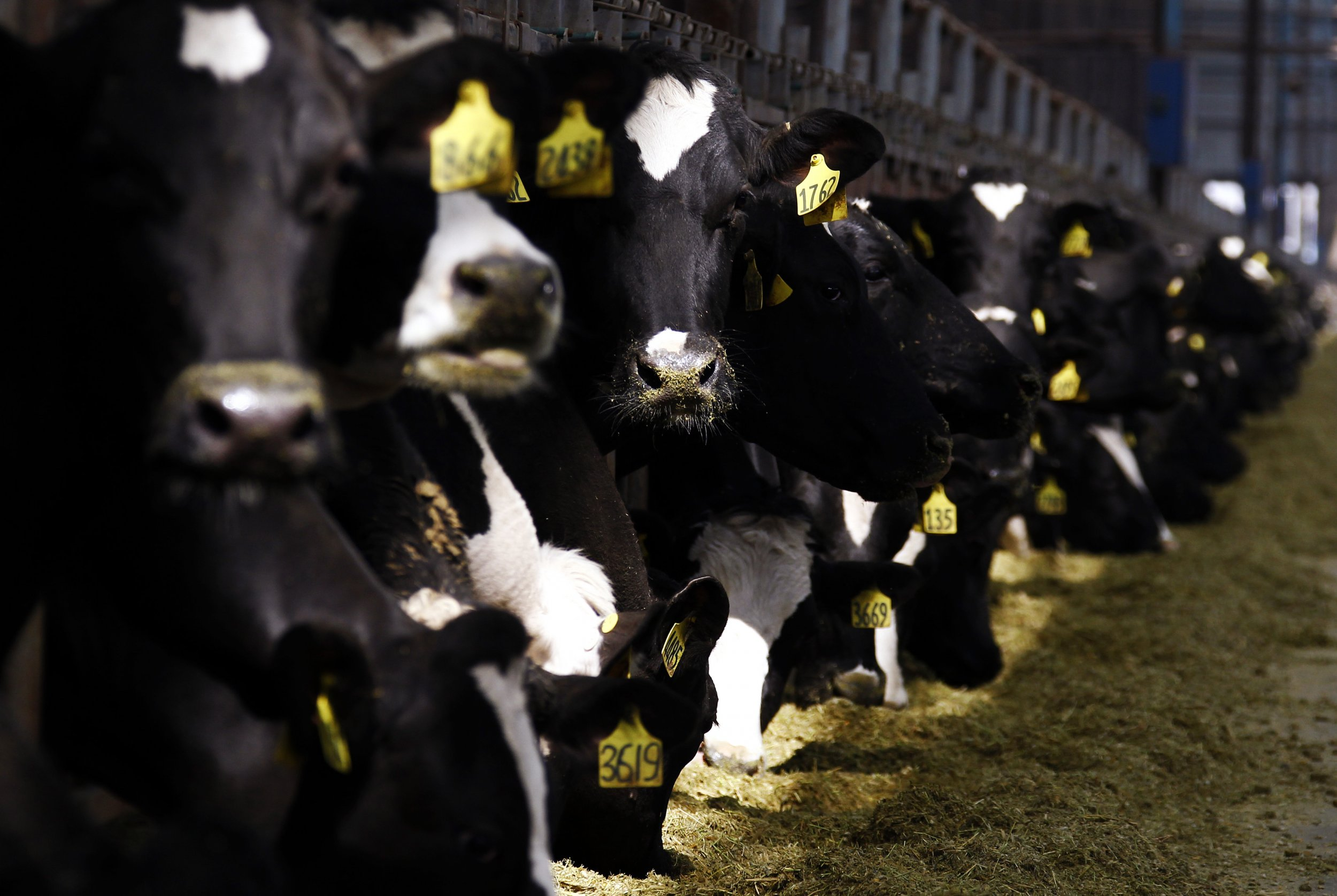 Tuberculosis-Resistant Cows Engineered by Chinese Scientists