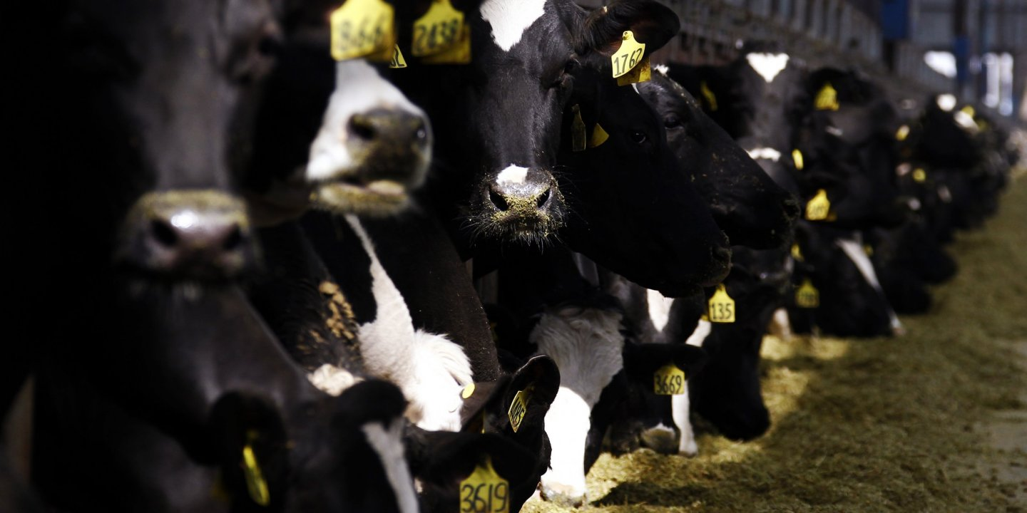 Chinese-cows