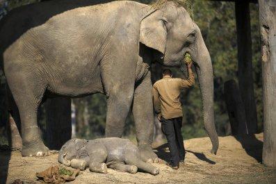 Elephant asleep