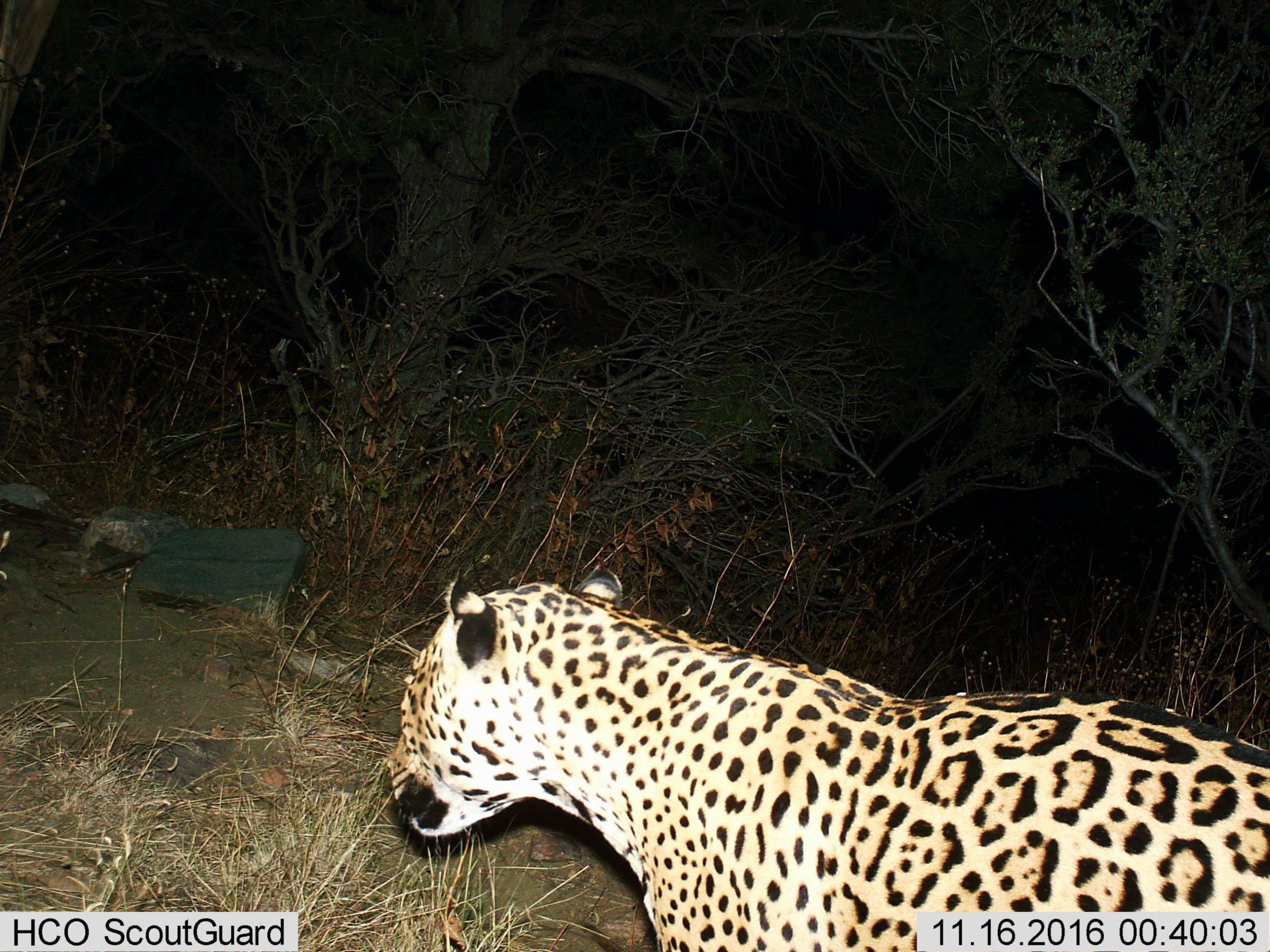 Jaguar-arizona