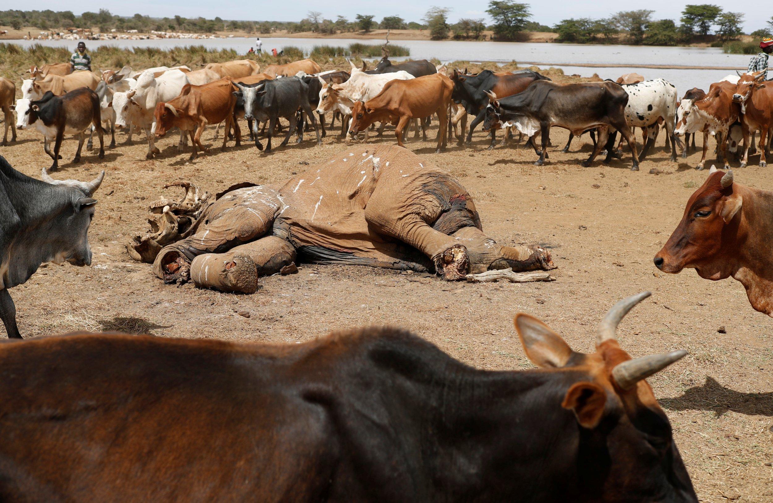 Kenya elephant carcass