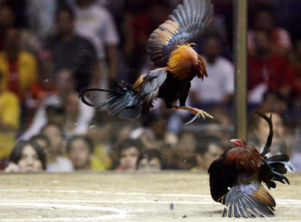 Cockfighting in Detroit leads to arrest of several undocumented immigrants.