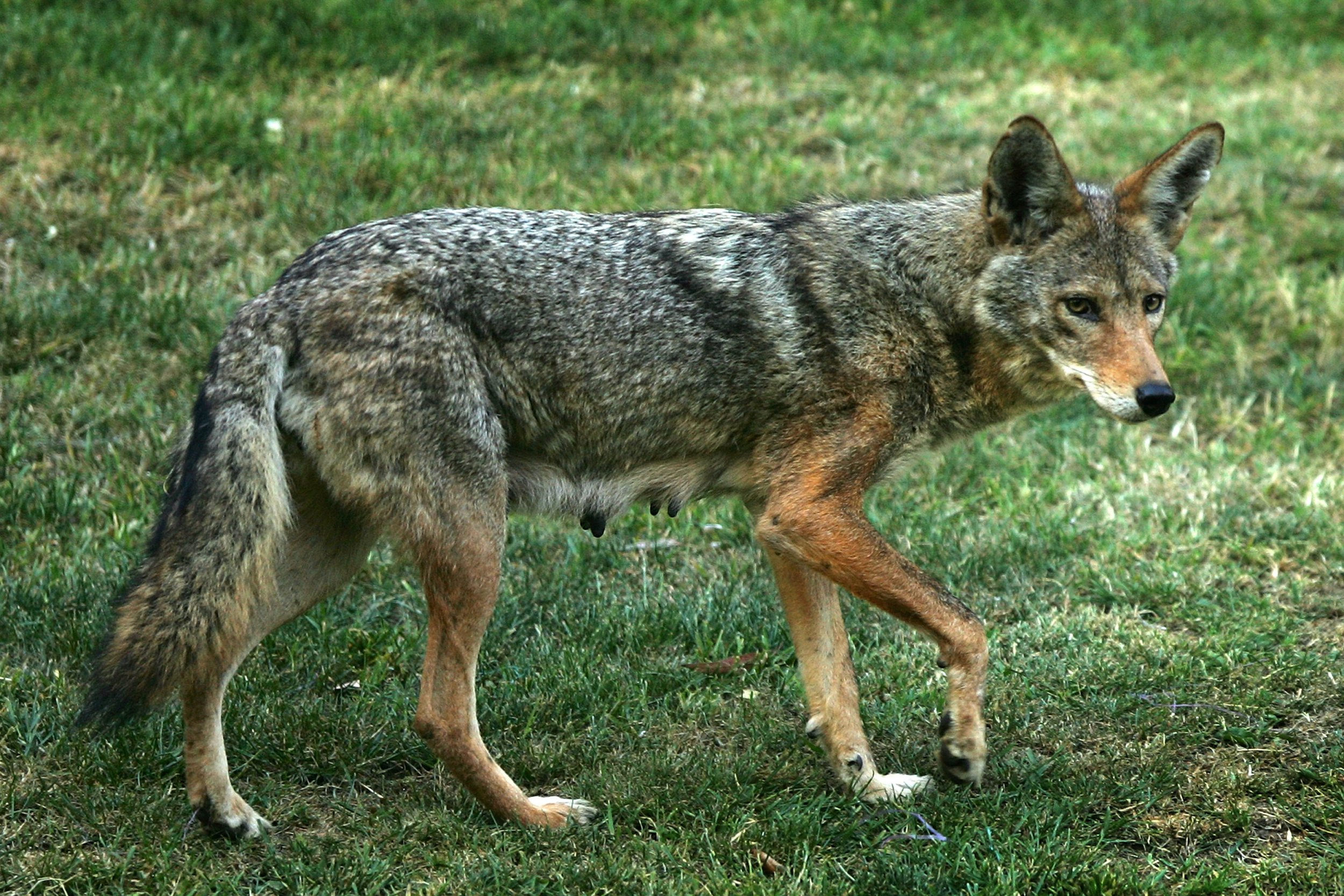 03_25_Cromwell_Coyote_02