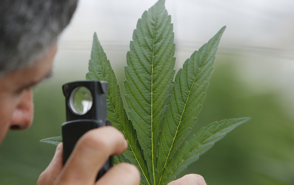 A pharmaceutical company received DEA approval to produce a synthetic marijuana drug.