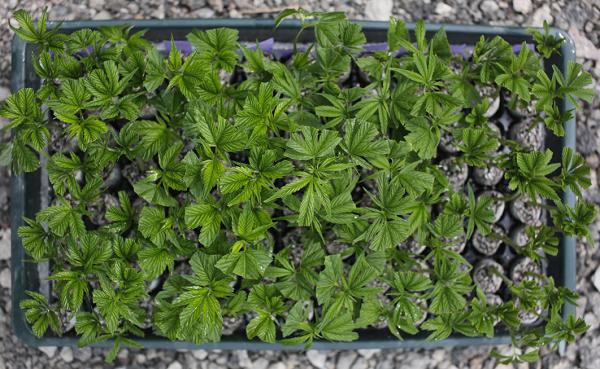 Virginia study on marijuana