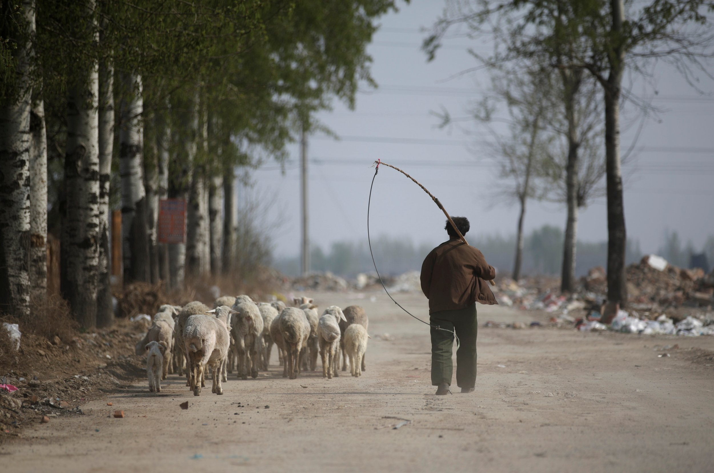 Shepherd China