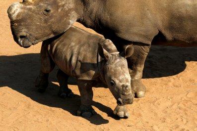 South Africa rhinos