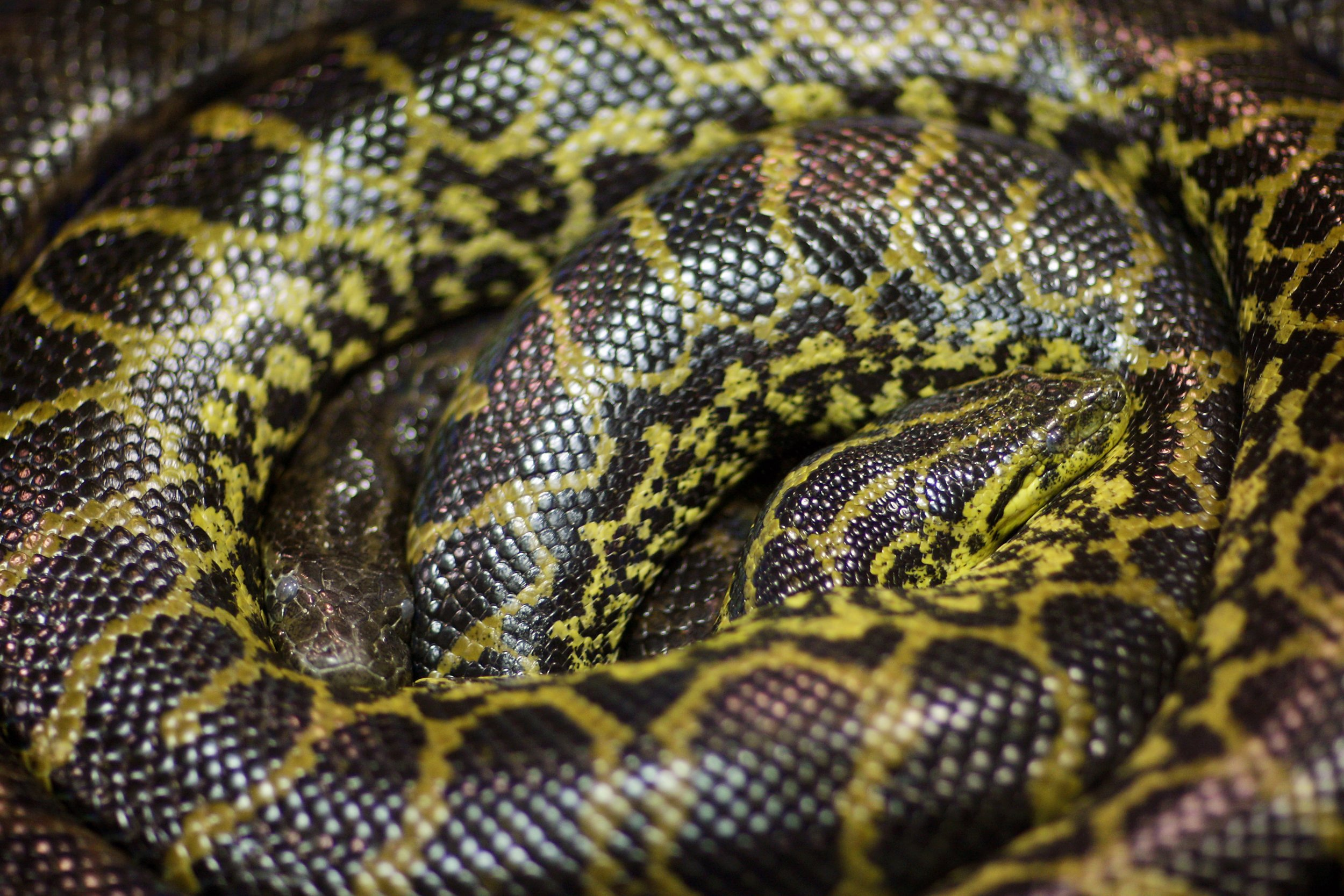 yellow-anacondas
