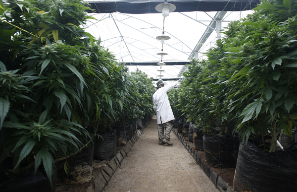Medical marijuana companies in New York file a lawsuit against the Department of Health to block program expansion