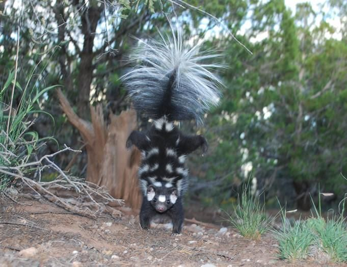 The Evolution of a Tiny Skunk That Does Handstands
