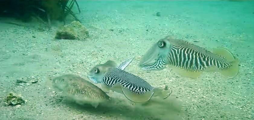 three-cuttlefish