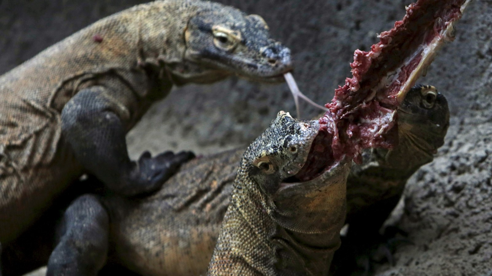 Komodo Dragon Bites Tourist In First Attack On Humans In Five Years