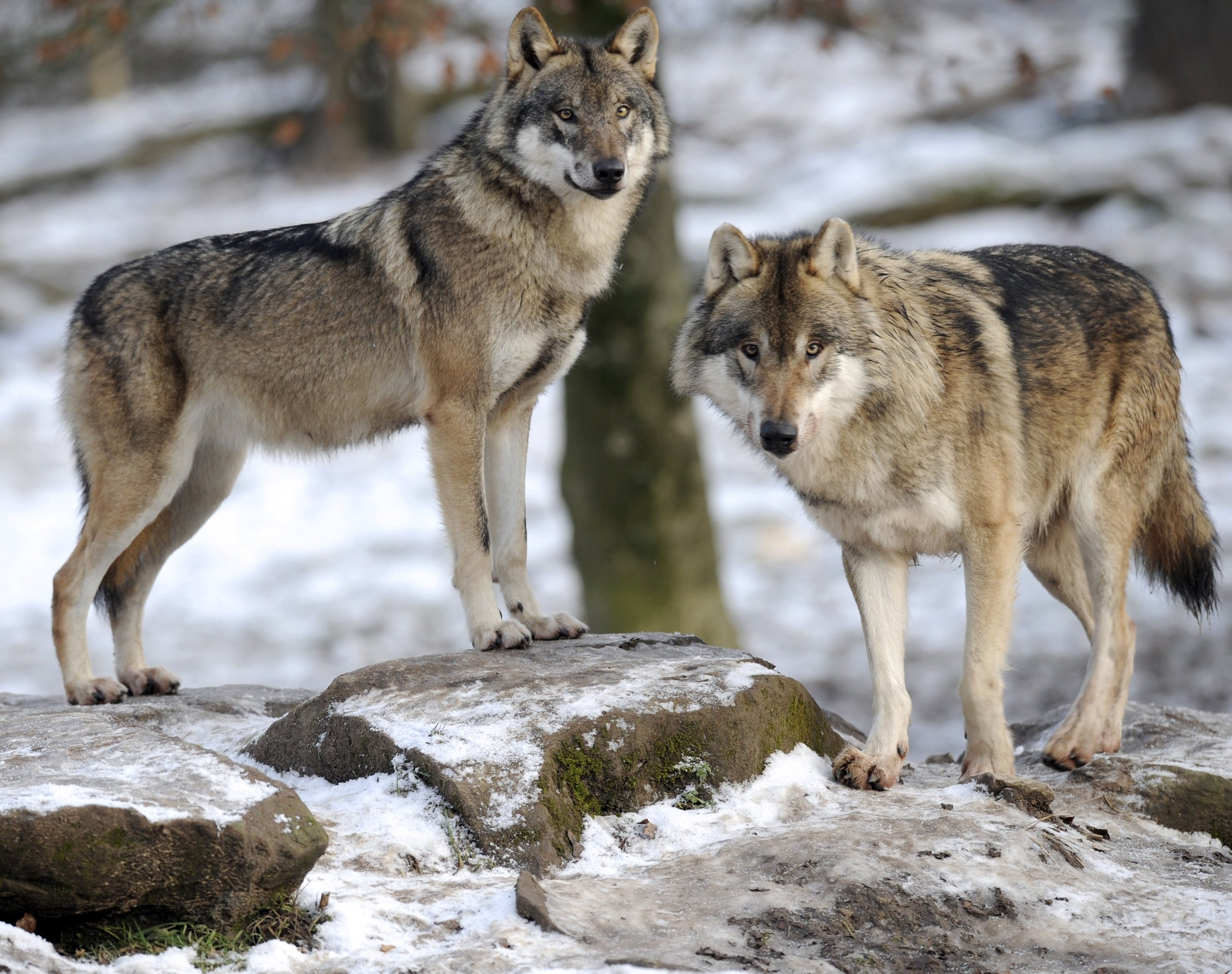 wolves have returned to denmark after 200 years