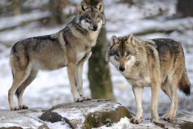 Grey wolves in Europe