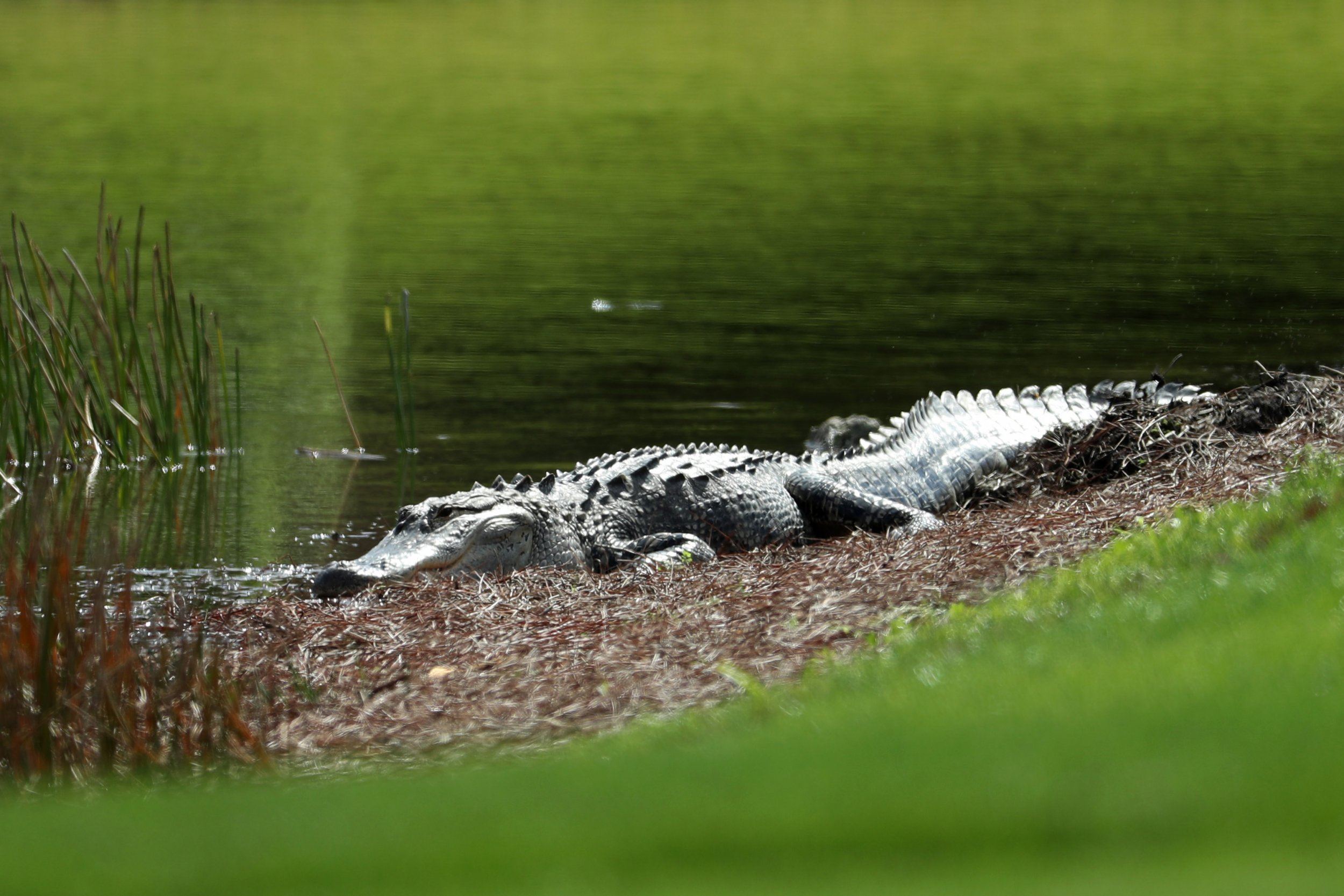 How to Survive an Alligator Attack: Emulate This Florida 10-Year-Old