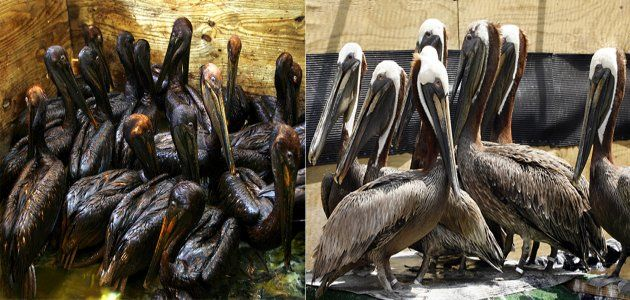 should-clean-oilspill-animals-wide