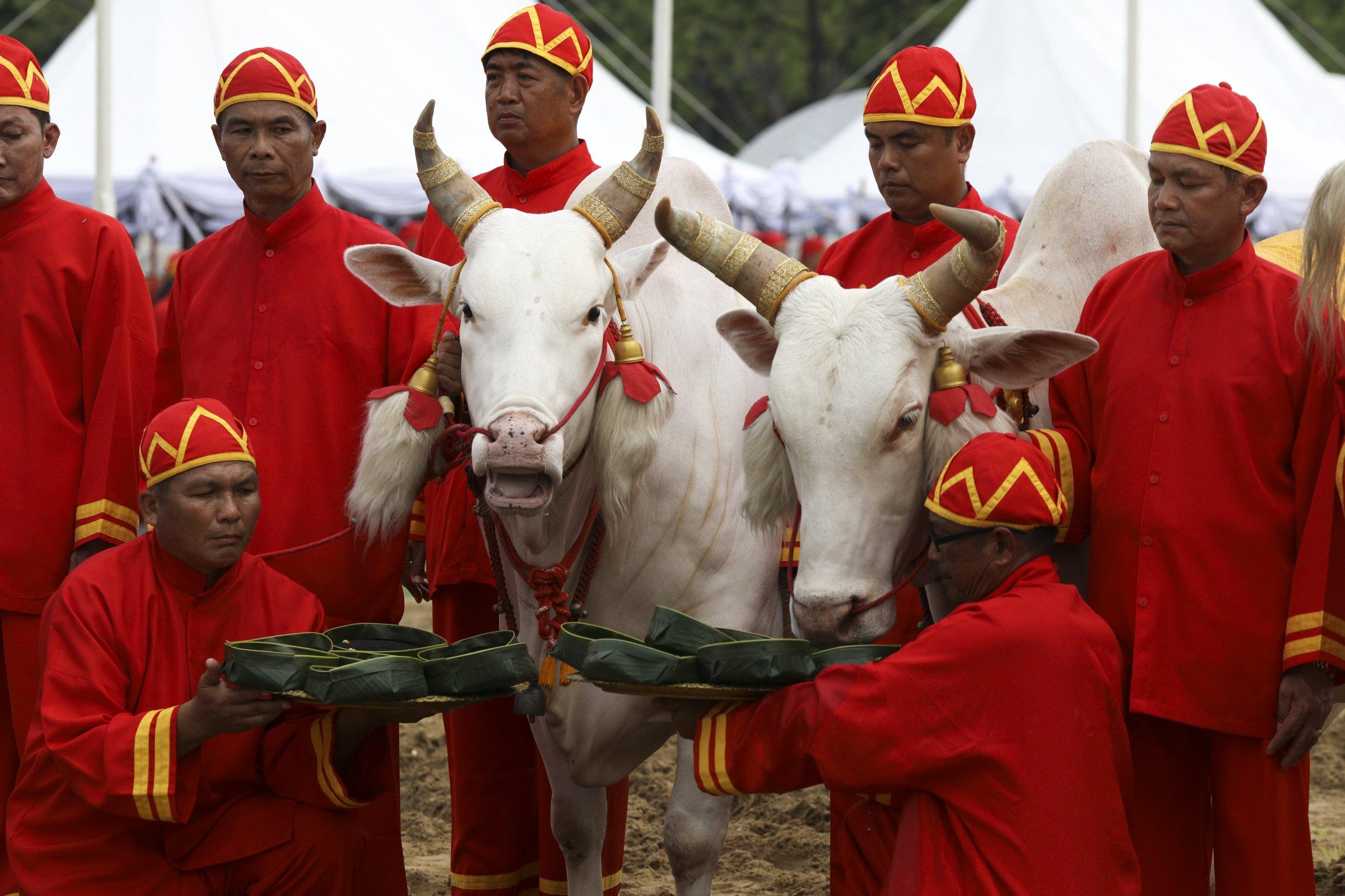 Sacred oxen plough