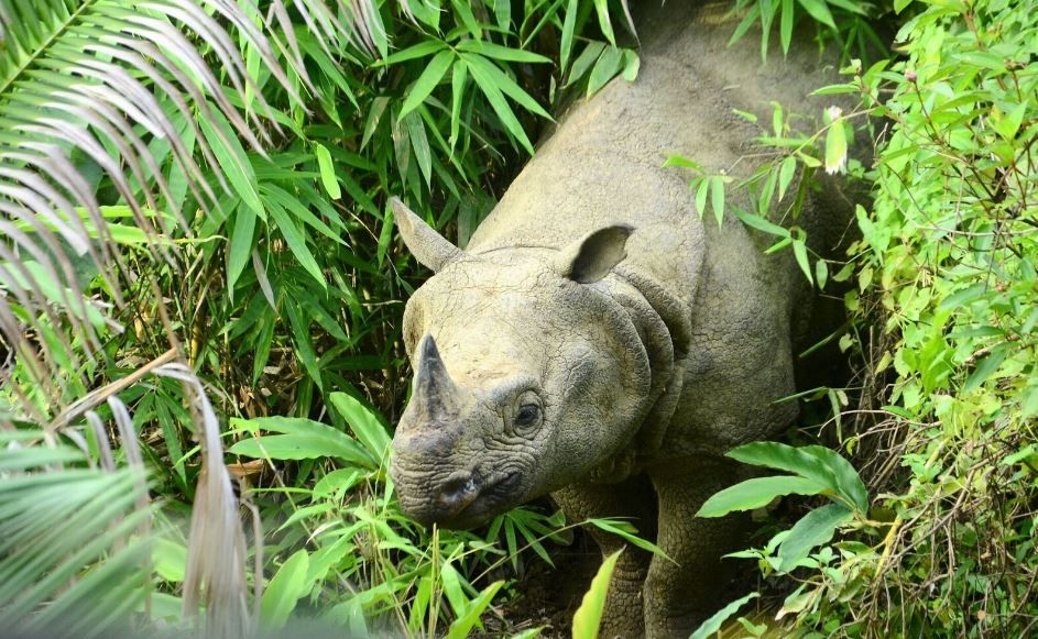 javan-rhino
