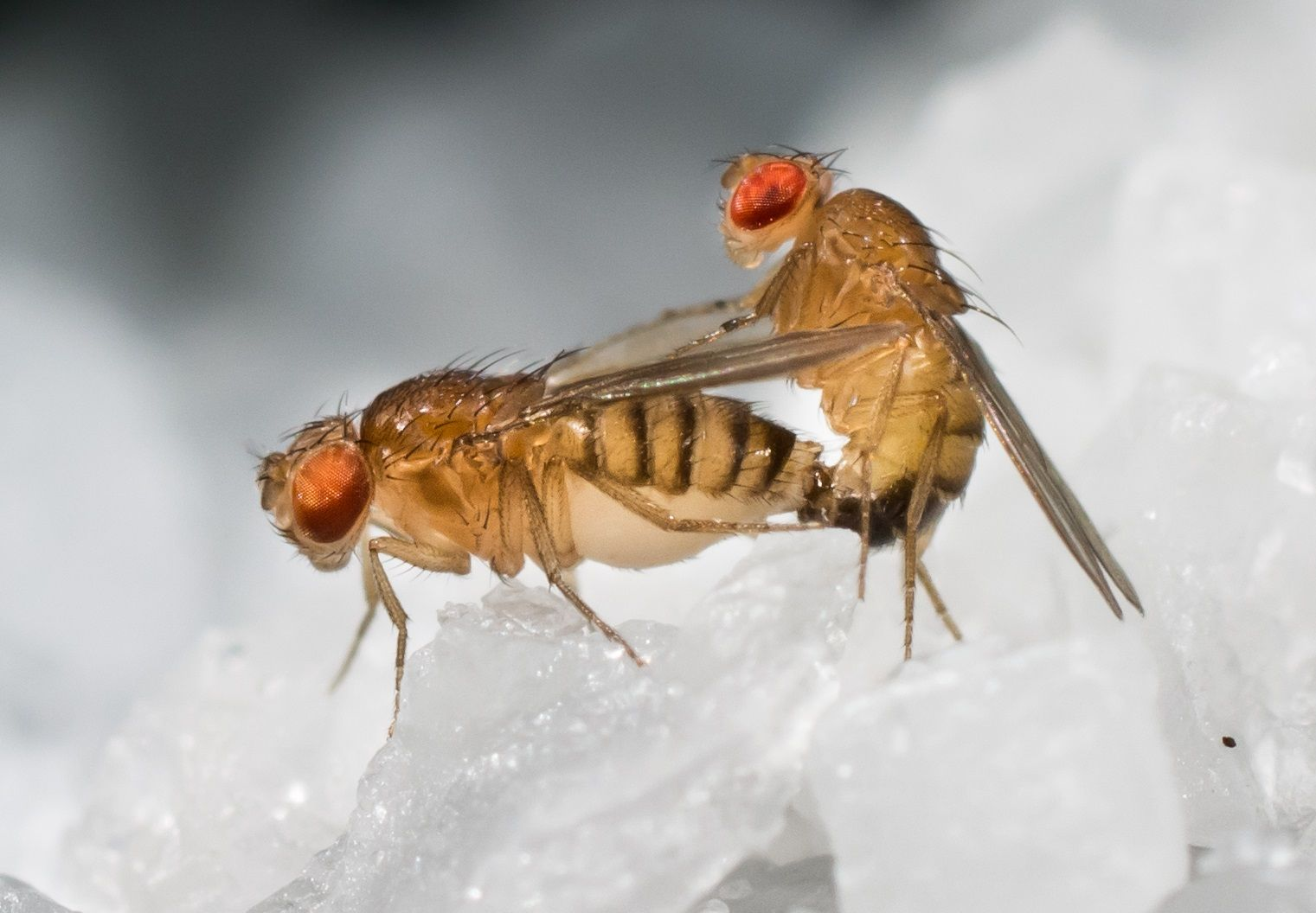 drosophila melanogaster Human neurodegenerative diseases are devastating illnesses that predominantly affect elderly people the majority of the diseases are associated with pathogenic.